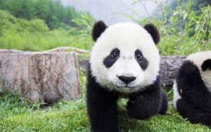 35 Best Panda Wallpapers For Your Desktop